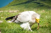 Egyptian Vulture breaks food into the cage at the zoo