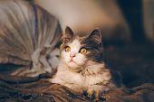 Village Cat Resting. Adult Village Cat On Farm poster