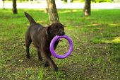 Cute Chocolate Labrador Retriever Dog With Toy In Summer Park poster
