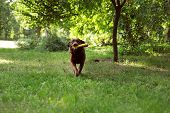 Cute Chocolate Labrador Retriever Dog With Toy On Green Grass In Park poster