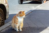 Bright Fluffy Red Cat On A City Street Near The Car poster