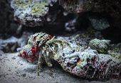 Crab In The Shell. Cancer Hermit Crawling On The Rocks. Macro Shot Of A Hairy Hermit Crab Underwater poster