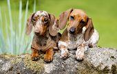dachshund marble ??? piebald , runs along the green grass poster