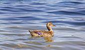 Mallard Duck Female Swimming Alone On Beautiful Calm Lake Waters poster