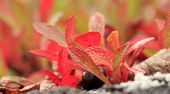 stock photo of bearberry  - Mountain Bearberry, in close up. Red and orange leaves.