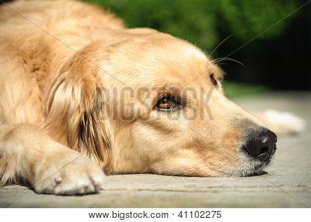 Golden Retriever Dog Lying On The Floor
