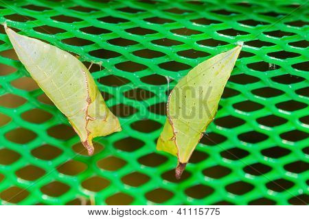 Two Tailed Jay Pupa