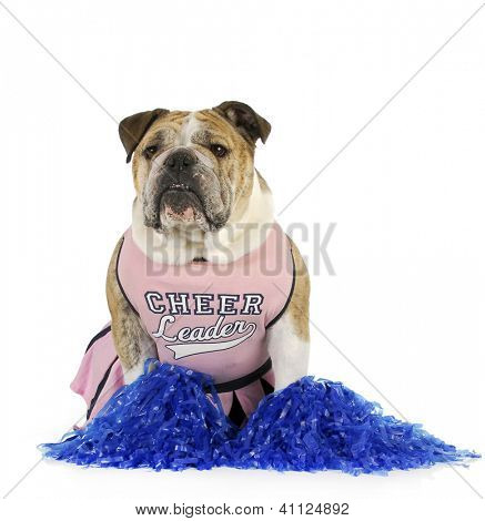cheerleader - english bulldog dressed up like a cheerleader on white background