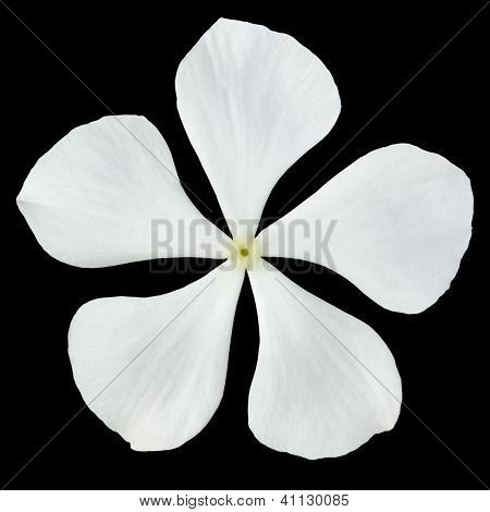White Madagascar Periwinkle Flower Isolated On Black