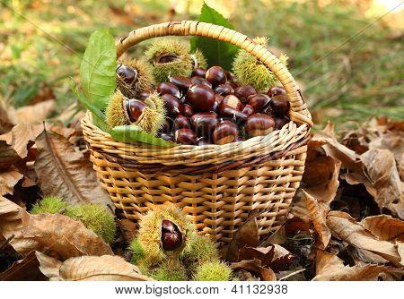 Chestnut harvest in wicker basket