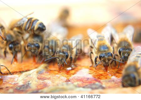 Closeup of bees eating honey
