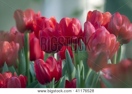 red tulip flower in the garden with shallow depth of field