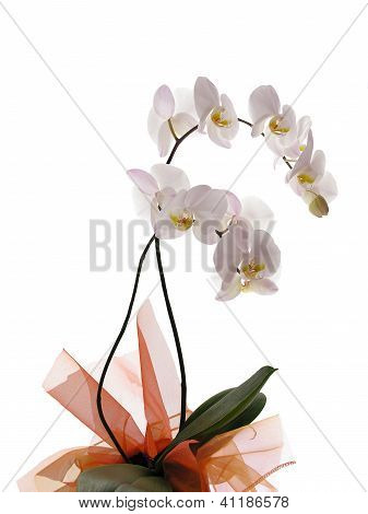 pink orchid with decorative ribons as gift for Birthday