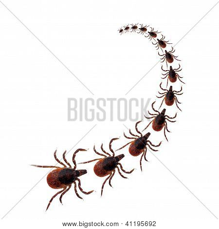 Dog Tick Procession Over White Background