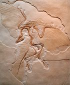 stock photo of specimens  - Archaeopteryx lithographica - JPG