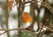 stock photo of songbird  - A Robin perched on a branch in winter - JPG