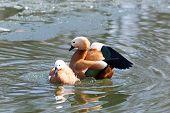 pic of animals sex reproduction  - Tadorna ferruginea Ruddy Shelduck - JPG