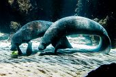 stock photo of sea cow  - Two Manatee  - JPG
