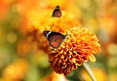 image of chrysanthemum  - Monarch butterfly on orange chrysanthemum flowers  - JPG
