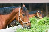 stock photo of feeding horse  - close up horse eating hay - JPG