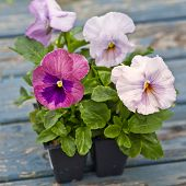 Fresh from the greenhouse, young pansies ready to plant for the spring garden.
