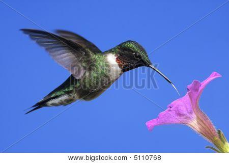 Male Ruby-throated Hummingbird (archilochus Colubris)