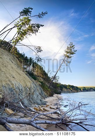 Sliding Down Cliff On Black Sea Coast With Falling Pine Trees. Obzor Beach, Bulgaria.