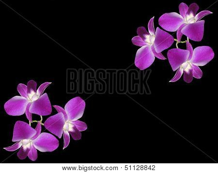 Purple Orchids (Orchidaceae)