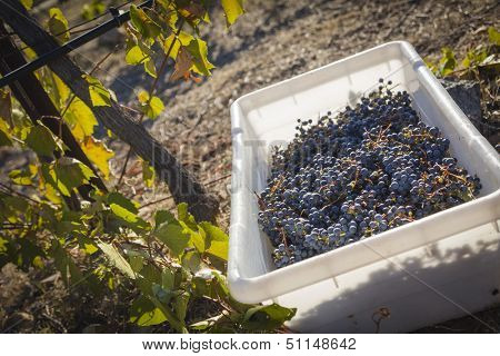 Ripe Red Wine Grapes In Harvest Bins One Fall Morning.