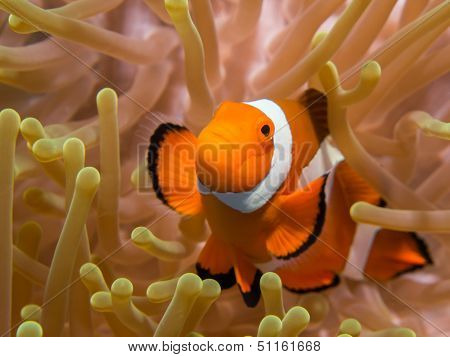 Clownfish In An Anemone, Bunaken, Indonesia