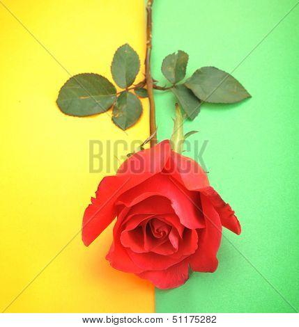 roses Flower