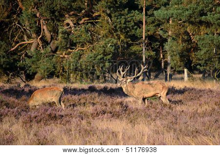 Stag And Hind