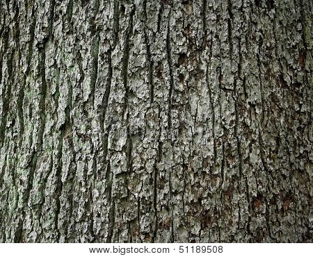 Huge Oak Bark As Background