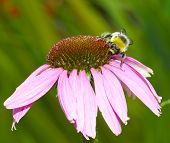 Bee on echinacea (cone) flower