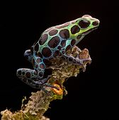 stock photo of terrarium  - poison arrow frog from tropical Amazon Rainforest in Peru - JPG