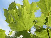 stock photo of maple tree  - still young green maple tree leaves from a frog perspective