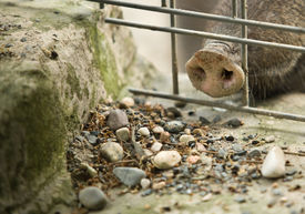 stock photo of javelina  - A collared peccary or javelina that has been rooting in the dirt with its nose - JPG