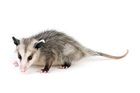 picture of possum  - Young common opossum isolated on white background - JPG