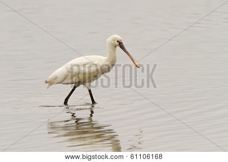 Eurasian Spoonbill Walking