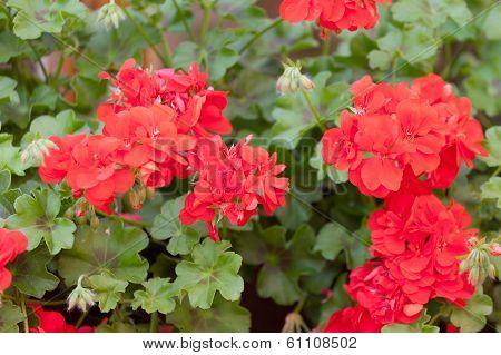 Flowers of a red geranium