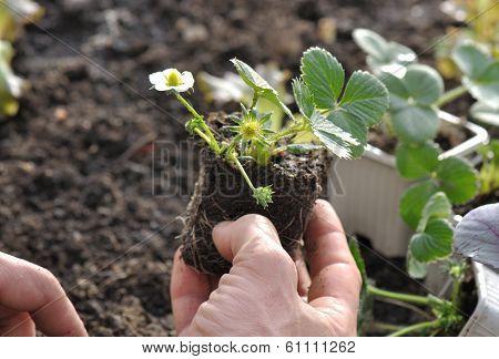 Planting Strawberry