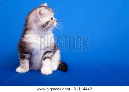 Scottish Purebred Cat