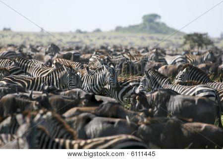Steppenzebras (Equus Burchelli)