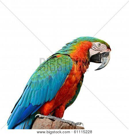 Harlequin Macaw