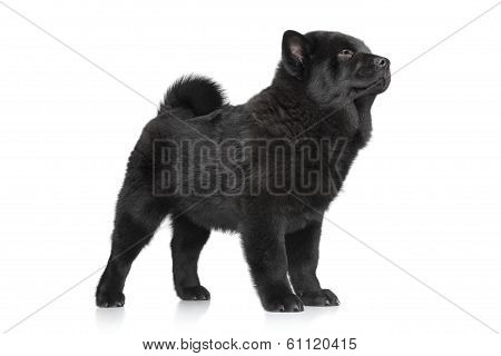 Chow Chow Puppy Standing