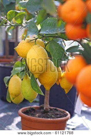 Lemons From Sicily And Ripe Orange Tangerines