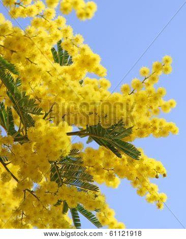 Beautiful Yellow Mimosa