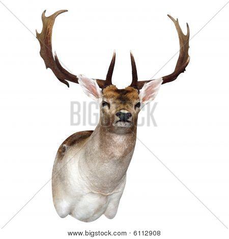11 Point Fallow Deer