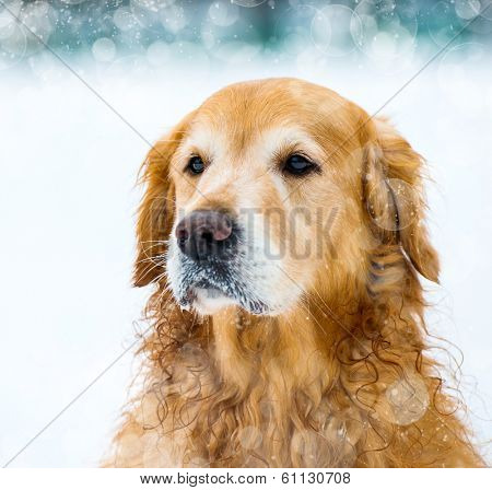 dog's face red retriever in the snow in winter