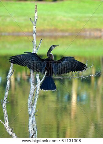 Female Anhinga Drying Wings